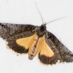 Prorocopis euxantha (Golden Crest) at Melba, ACT - 11 Nov 2020 by Bron
