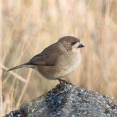 Aphelocephala leucopsis (Southern Whiteface) at Mcquoids Hill - 30 May 2021 by patrickcox