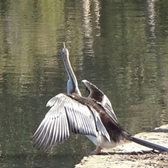 Anhinga novaehollandiae (Australasian Darter) at Commonwealth & Kings Parks - 9 May 2021 by JanetRussell
