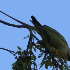 Psittacula krameri (Rose-ringed Parakeet) at Narrabundah, ACT - 31 May 2021 by RobParnell