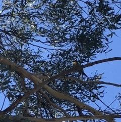 Polytelis swainsonii (Superb Parrot) at Point One - 23 May 2021 by Tapirlord