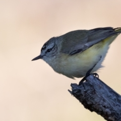 Acanthiza chrysorrhoa (Yellow-rumped Thornbill) at The Pinnacle - 31 May 2021 by kasiaaus