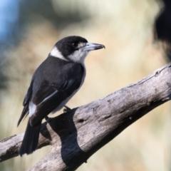 Cracticus torquatus (Grey Butcherbird) at Holt, ACT - 31 May 2021 by kasiaaus