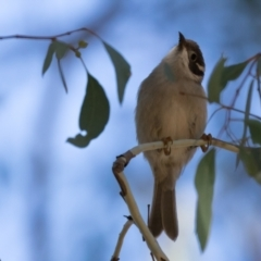 Melithreptus brevirostris (Brown-headed Honeyeater) at Holt, ACT - 31 May 2021 by kasiaaus