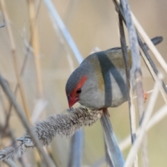 Neochmia temporalis (Red-browed Finch) at The Pinnacle - 31 May 2021 by kasiaaus