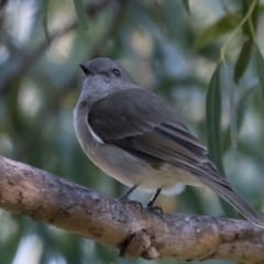 Pachycephala pectoralis (Golden Whistler) at Holt, ACT - 31 May 2021 by kasiaaus