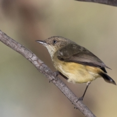 Acanthiza reguloides (Buff-rumped Thornbill) at The Pinnacle - 31 May 2021 by kasiaaus