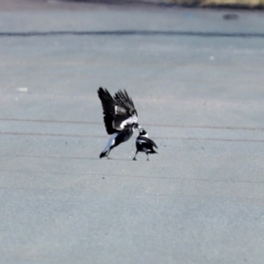 Gymnorhina tibicen (Australian Magpie) at Hume, ACT - 31 May 2021 by RodDeb