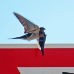 Hirundo neoxena (Welcome Swallow) at Hume, ACT - 31 May 2021 by RodDeb