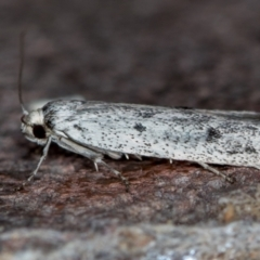 Unidentified Moth (Lepidoptera) (TBC) at Melba, ACT - 9 Nov 2020 by Bron