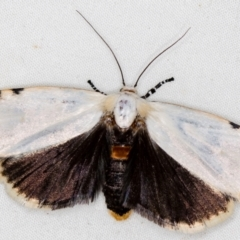 Cryptophasa undescribed species (A Timber moth (subfamily Xyloryctidae)) at Melba, ACT - 10 Nov 2020 by Bron