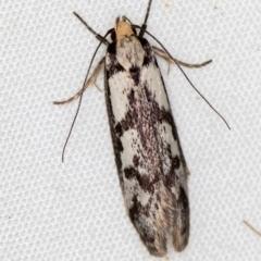 Eusemocosma pruinosa (A Concealer moth) at Melba, ACT - 10 Nov 2020 by Bron