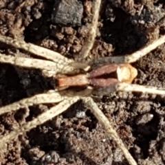 Argoctenus vittatus (Wandering Ghost Spider) at O'Connor, ACT - 1 Jun 2021 by tpreston