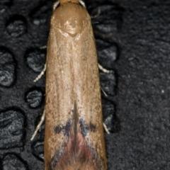 Tachystola hemisema (A Concealer moth) at Melba, ACT - 9 Nov 2020 by Bron