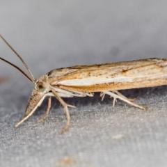 Ptochostola microphaeellus (A Crambid moth) at Melba, ACT - 9 Nov 2020 by Bron