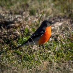 Petroica phoenicea (Flame Robin) at Kowen, ACT - 30 May 2021 by trevsci