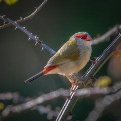 Neochmia temporalis (Red-browed Finch) at Kowen, ACT - 30 May 2021 by trevsci