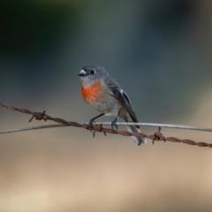 Petroica boodang (Scarlet Robin) at Kowen, ACT - 30 May 2021 by trevsci