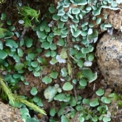 Cladonia sp. (Cup Lichen) at Majura, ACT - 24 May 2021 by JanetRussell
