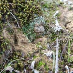 Cladonia sp. at Majura, ACT - 24 May 2021