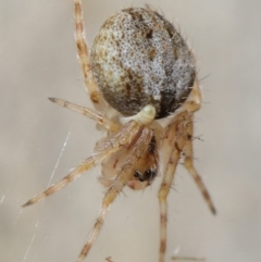 Unidentified Spider (Araneae) (TBC) at Acton, ACT - 7 May 2021 by TimL