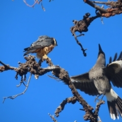 Falco longipennis (Australian Hobby) at Garran, ACT - 27 May 2021 by roymcd