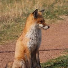 Vulpes vulpes (Red Fox) at Jerrabomberra Wetlands - 31 May 2021 by roymcd