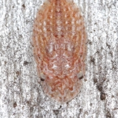 Ledrinae sp. (subfamily) (A Flat-headed Leafhopper) at ANBG - 28 May 2021 by TimL