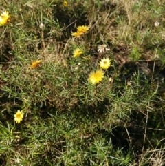 Xerochrysum viscosum (Sticky everlasting) at Holt, ACT - 29 May 2021 by sangio7