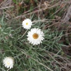Leucochrysum albicans subsp. albicans (Hoary sunray) at Holt, ACT - 1 Jun 2021 by sangio7