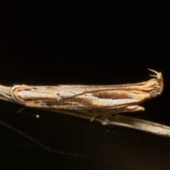 Eutorna tricasis (Eutorna tricasis) at Coree, ACT - 2 Jun 2021 by Roger