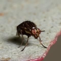 Steganopsis melanogaster (A lauxaniid fly) at Coree, ACT - 2 Jun 2021 by Roger