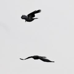 Corvus mellori (Little Raven) at Fyshwick, ACT - 1 Jun 2021 by RodDeb
