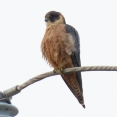 Falco longipennis (Australian Hobby) at Fyshwick, ACT - 1 Jun 2021 by RodDeb