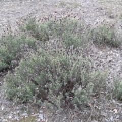 Lavandula stoechas at 9 Mile Hill Travelling Stock Reserve - 2 Jun 2021