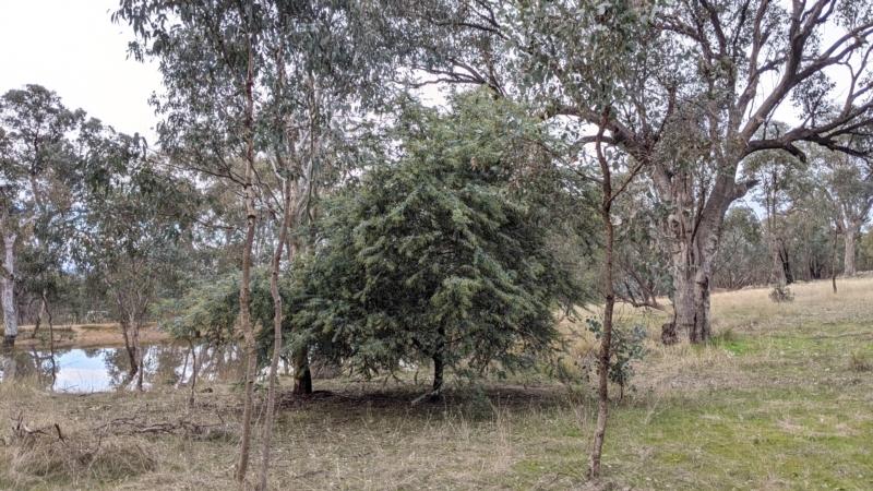 Acacia baileyana at 9 Mile Hill Travelling Stock Reserve - 2 Jun 2021