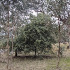 Acacia baileyana (Cootamundra Wattle, Golden Mimosa) at 9 Mile Hill Travelling Stock Reserve - 2 Jun 2021 by Darcy