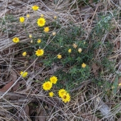 Xerochrysum viscosum at 9 Mile Hill Travelling Stock Reserve - 2 Jun 2021