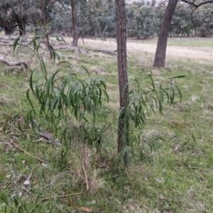Acacia implexa at 9 Mile Hill Travelling Stock Reserve - 2 Jun 2021