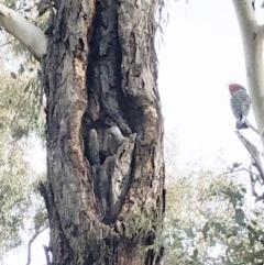 Callocephalon fimbriatum (Gang-gang Cockatoo) at Garran, ACT - 1 Jun 2021 by ruthkerruish