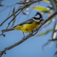 Falcunculus frontatus (Crested Shrike-tit) at Mount Clear, ACT - 2 Jun 2021 by trevsci