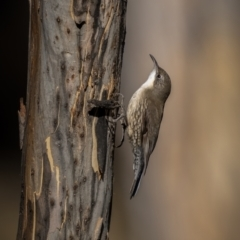 Cormobates leucophaea (White-throated Treecreeper) at Mount Clear, ACT - 2 Jun 2021 by trevsci