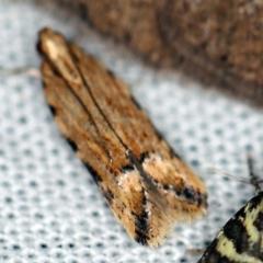 Ardozyga undescribed species nr decaspila at Paddys River, ACT - 12 Mar 2021 by ibaird