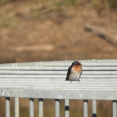 Hirundo neoxena (Welcome Swallow) at Murrumbateman, NSW - 31 May 2021 by SimoneC