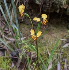 Diuris pardina (Leopard Doubletail) at Nail Can Hill - 13 Sep 2020 by Darcy