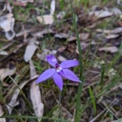 Glossodia major (Wax Lip Orchid) at Nail Can Hill - 13 Sep 2020 by Darcy