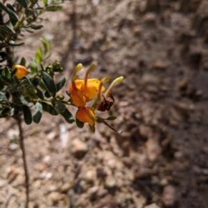 Grevillea alpina at Nail Can Hill - 1 Aug 2020