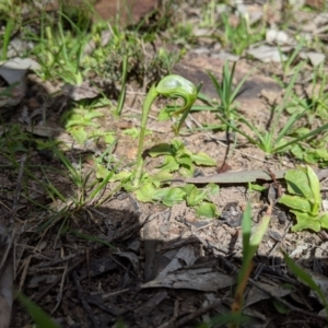 Pterostylis nutans at Nail Can Hill - 1 Aug 2020