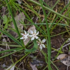 Wurmbea dioica subsp. dioica (Early Nancy) at Nail Can Hill - 13 Sep 2020 by Darcy