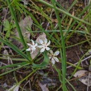 Wurmbea dioica subsp. dioica at Nail Can Hill - 13 Sep 2020